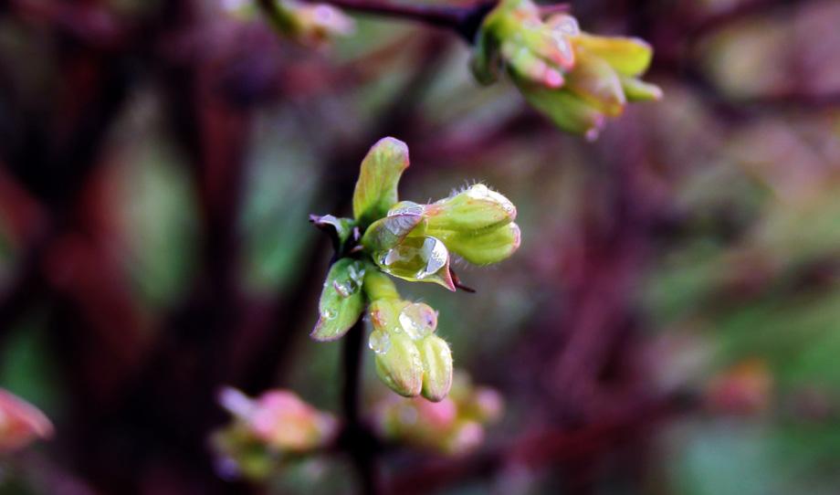 Cvijet haskap sibirska borovnica siječanj 2018
